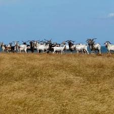 wild_goat_hunting_10L.jpg