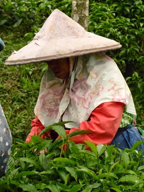 Puli, Nantou county, cueillette de thé - P1050547.JPG