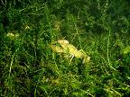 Astacus leptodactylus