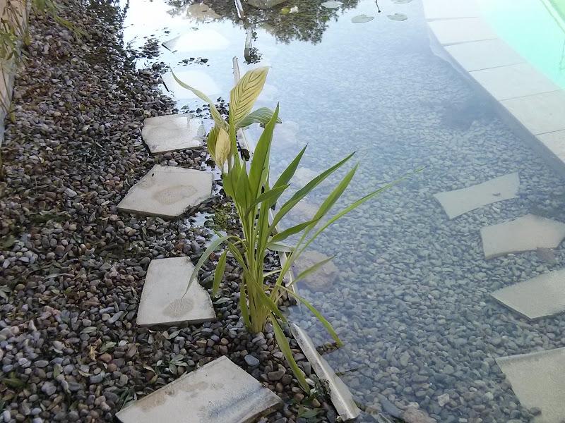 Como hacer una piscina natural urbanarbolismo for Filtro natural para estanque