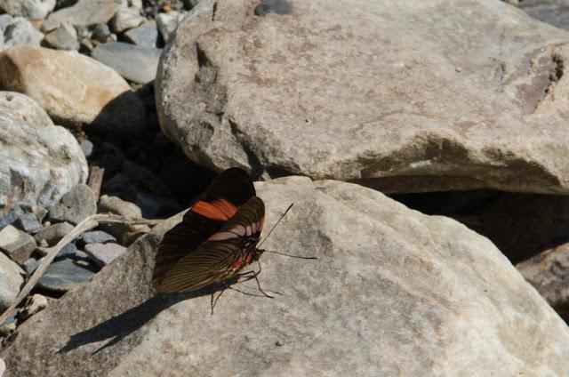 Adelpha lycorias lara (HEWITSON, 1850). Au nord de Coroico à 1100 m d'alt. (Yungas, Bolivie), 16 octobre 2012. Photo : C. Basset