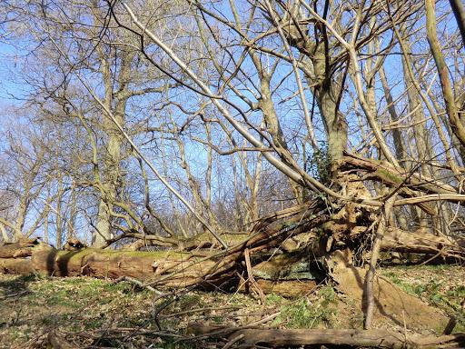 CIMG5944 Fallen tree in Coomb Wood
