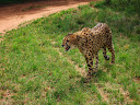 A hungry cheetah.