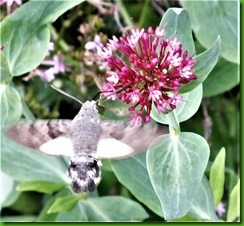 Hummingbird Hawkmoth 3rd July 2017 (2)