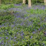 Jacinthe des forêts
