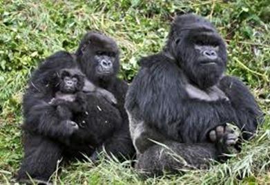 rwanda mountain gorillas