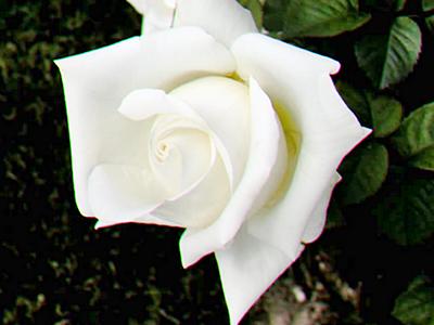 Dicas Com Aline O Significado Das Cores Das Flores Rosas