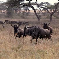 69 wilderbeast Serengeti.jpg