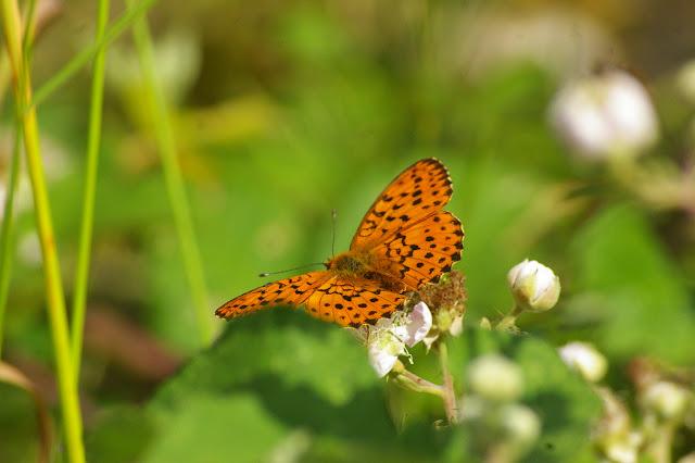 Brenthis daphne DENIS & SCHIFFERMÜLLER, 1775, mâle. Chevigny au Nord de Semur-en-Auxois. 15 juin 2007. Photo : J.-M. Gayman