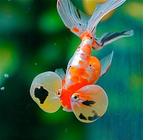Cá vàng mắt bong bóng có đôi mắt rất độc đáo