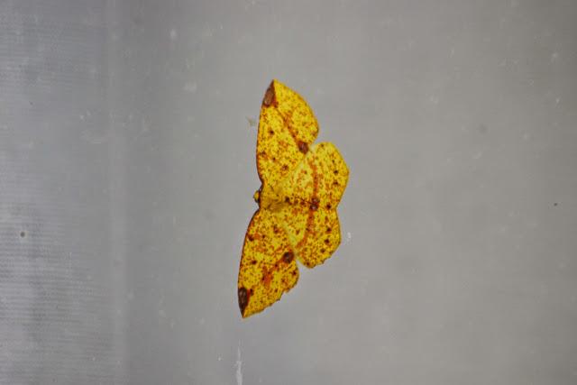 Melinodes (Melinoides) sp. Mount Totumas, 1900 m (Chiriquí, Panamá), 19 octobre 2014. Photo : J.-M. Gayman