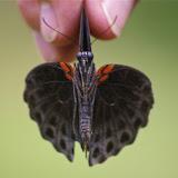Papilio memnon memnon LINNAEUS, 1758, mâle. Sukau, 13 août 2011