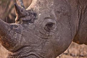 Rhino Male, Zimbabwe