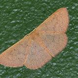 Geometridae, Larentiinae : Asthenini : Poecilasthena anthodes MEYRICK, 1891. Umina Beach (NSW, Australie), 2 octobre 2011. Photo : Barbara Kedzierski