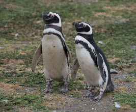 Photo: Pairs were easily identified; just look for two penguins standing together and in the same pose