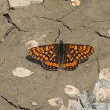 Euphydryas intermedia MÉNÉTRIÉS, 1859, mâle. Tigrovoy, 21 juin 2011. Photo : G. Charet