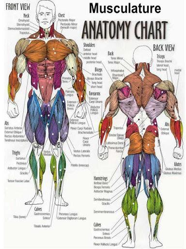 Otot Manusia : manusia, FITNESS, Mengenal, Anatomy, Otot-otot, Manusia