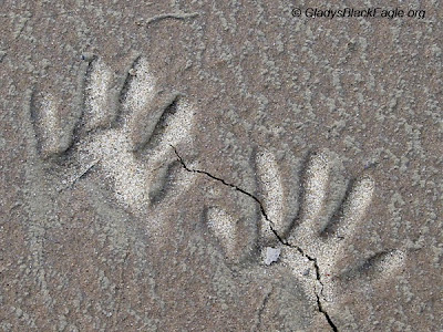 Raccoon tracks in drying mud where you can really only see the toes. Do you think these are front or hind feet?