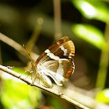 Castniidae : Telchin licus licus DRURY, 1773. Saül (Guyane). 30 novembre 2011. Photo : J.-M. Gayman