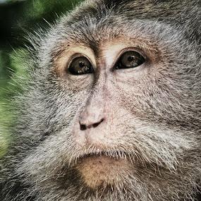 Monkey at Ubud Monkey Forest by Frans Priyo - Animals Other