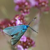 Procridinae : Adscita statices (L., 1758). Plateau de Coupon (511 m), Viens (Vaucluse), 10 mai 2014. Photo : J.-M. Gayman