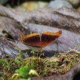 Marpesia zerynthia dentigera (FRUHSTORFER, 1907) [= coresia]. Rio Los Cedros, 1350 m. Montagnes de Toisan, Cordillère de La Plata (Imbabura, Équateur), 20 novembre 2013. Photo : J.-M. Gayman
