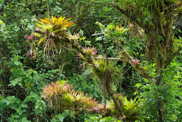 Bromélicaées. Vallée du Rio Guallupe, 1300 m (El Limonal, Imbabura, Équateur), 9 décembre 2013. Photo : J.-M. Gayman