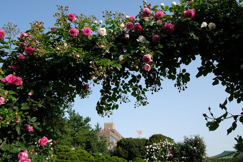 210504 港の見える丘公園のバラ