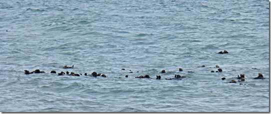 Sea Otters off Homer Spit