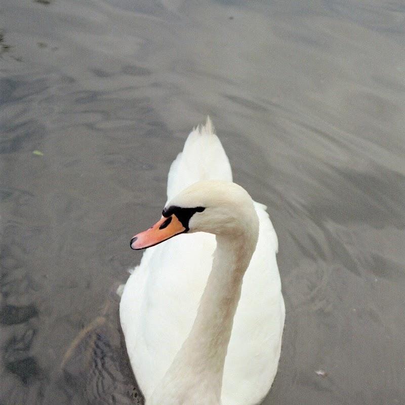 Canal_Boating_03 Swan.jpg