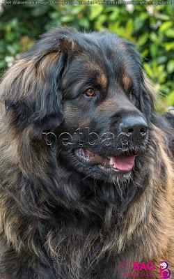 حجم كلاب الليونبيرجر