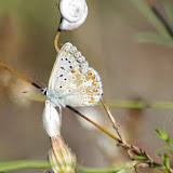 Polyommatus icarus (ROTTEMBURG, 1775), mâle. Aix-en-Provence (13, France), 31 juillet 2014. Photo : J.-M. Gayman