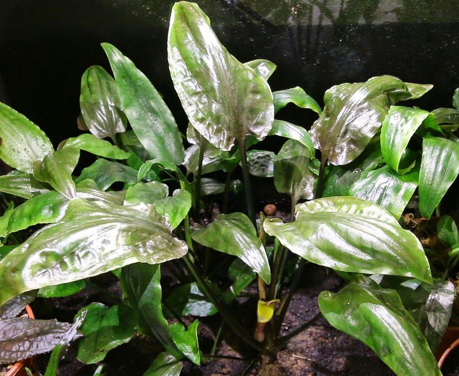 Криптокорина понтедериелистная (Cryptocoryne pontederiifolia)