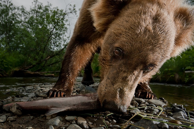 An Alaskan grizzly bear eats a salmon. Photo: Jonathan Armstrong / Oregon State University
