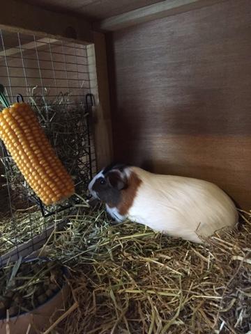 Amanda S Guinea Pig Rescue Braintree Essex Daisy And