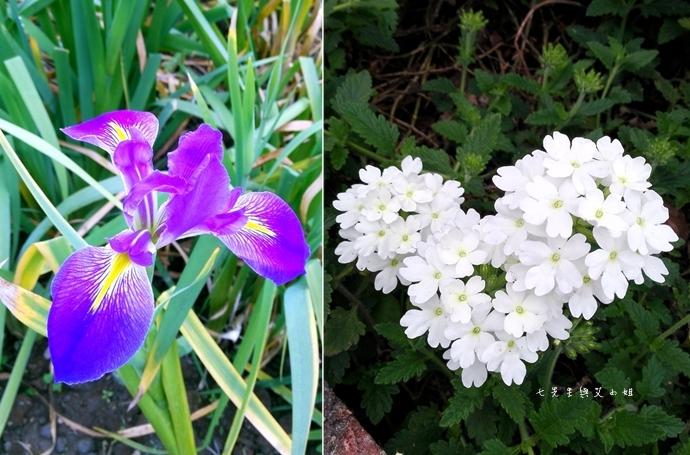 5 紫藤咖啡園 2014