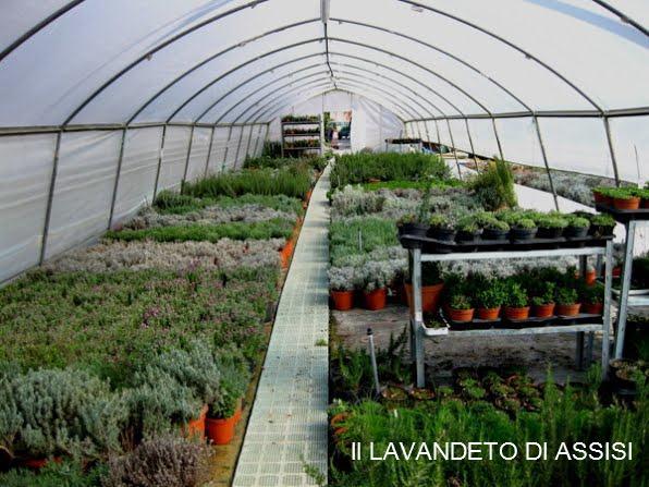 Catalogo Piante Da Giardino : Il nostro catalogo piante lavandeto di assisi vivaio