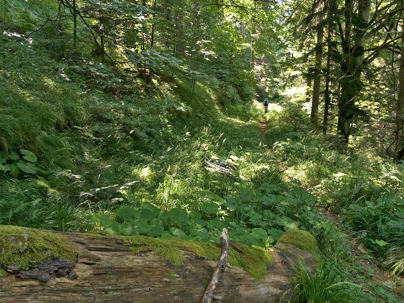 Prima bucata foarte faina de poteca de pe traseul, pe un fost drum de exploatare aproape complet recastigat de natura.
