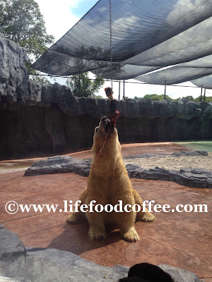 inuka at zoo Singapore