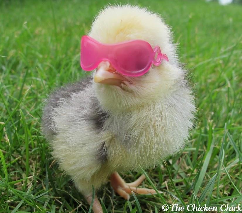 Gambar Ayam Baru Gede