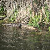 Alligator at Barefoot Landing in Myrtle Beach - 03