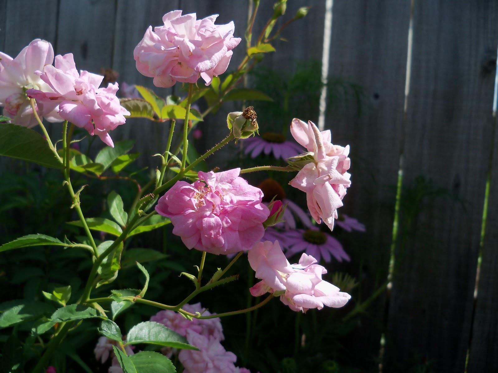 Gardening 2010, Part Three - 101_3680.JPG
