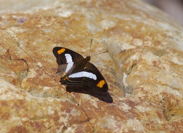Adelpha iphiclus iphiclus (Linnaeus, 1758). Santa María en Boyacá, 820 m (Boyacá, Colombie), 2 novembre 2015. Photo : J.-M. Gayman