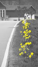 Photo: Narzissenblüte in Grödersby