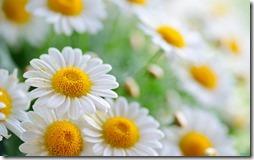 margaritas flores (47)