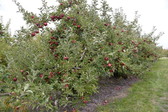 apple_picking_2