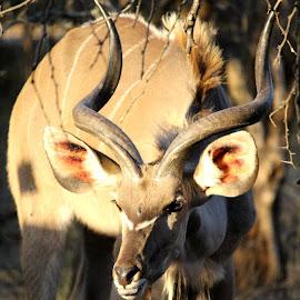 Buck by Jodi Siecker - Animals Other