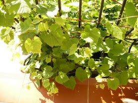 Winorośl właściwa czepne Vitis vinifera