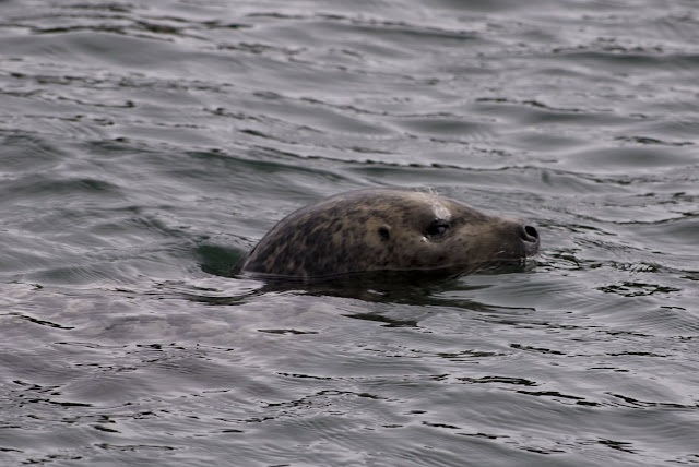 A harbor seal swimming by / Credit: Bellingham Whatcom County Tourism