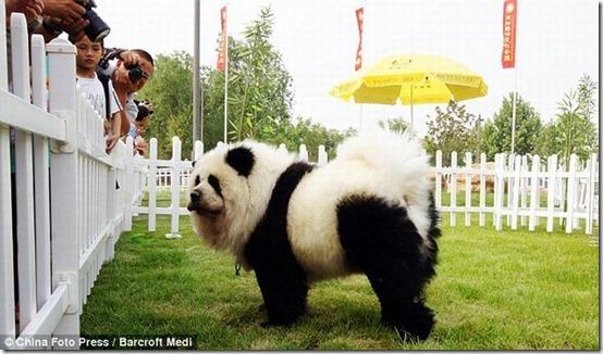 peros como oso pandas y tigres (3)